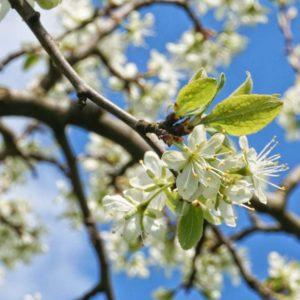 Hof Surmann – Die Stromberger Pflaume im Frühling